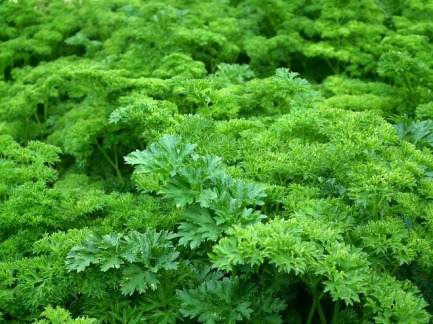 parsley-261039_640.jpg